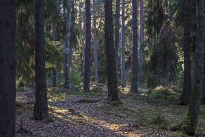 Hotad skog  Kersön KB 131105