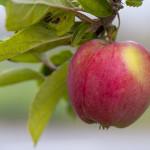 Äpple KB 130911