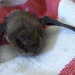 dvärgpipistrell wikipedia