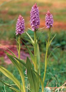 Svens orkidé red
